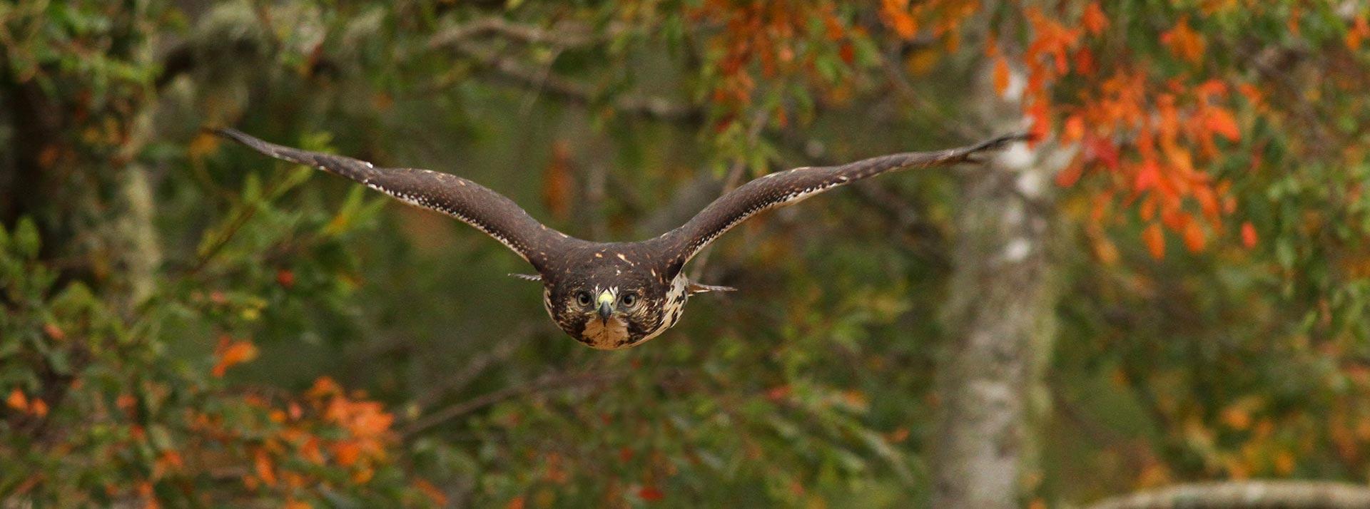 Aguilucho Cola Rojiza volando sobre el bosque de Nahuelbuta
