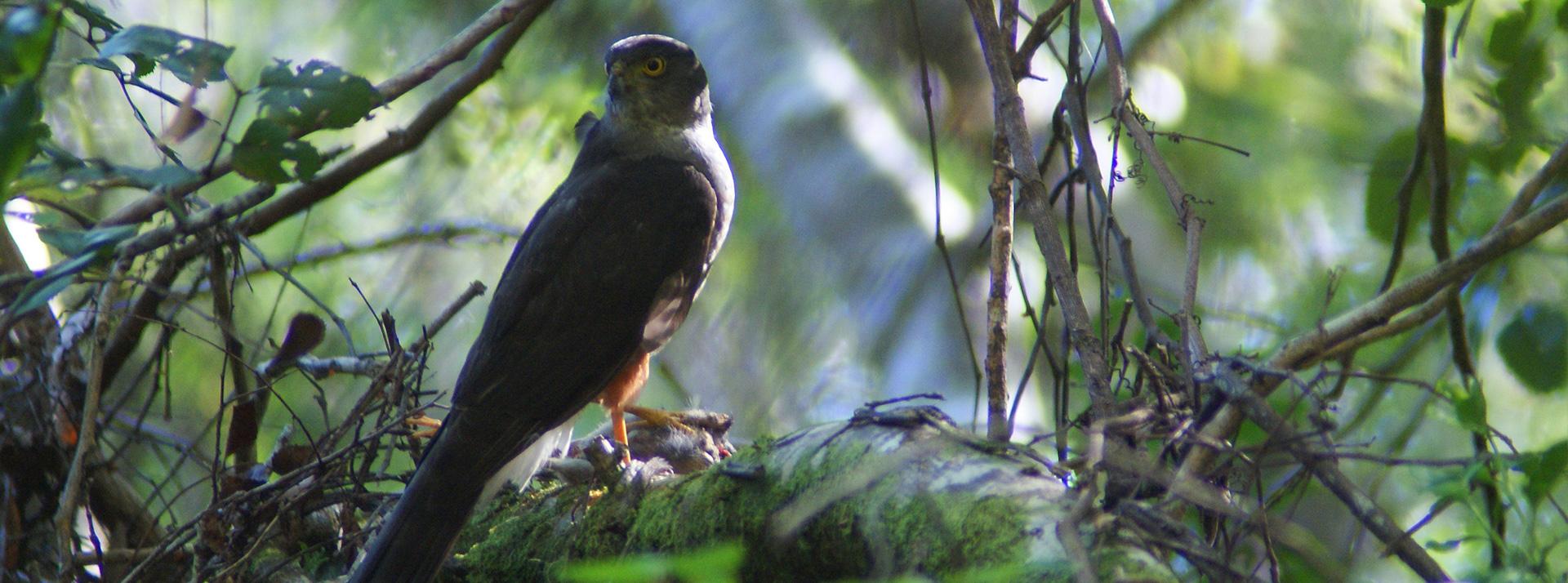 Peuquito (Accipiter chilensis)